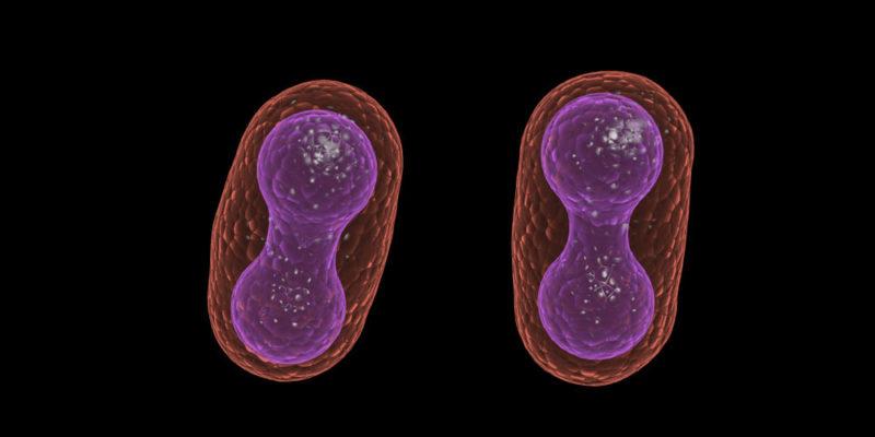 Pembelahan biner terdiri dari satu sel yang membelah menjadi dua.