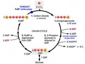 Siklus-Calvin